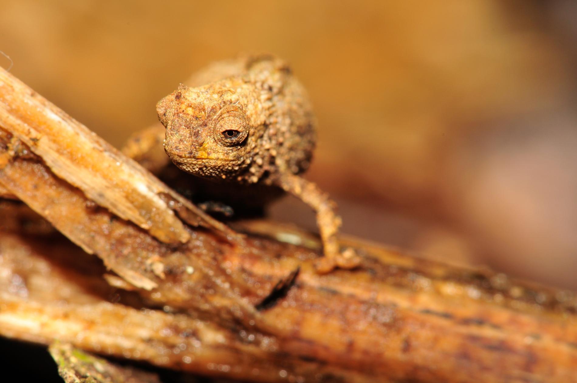 馬達加斯加新發現的奈米變色龍(<i>Brookesia nana</i>)可能是世界上最小的爬行動物。PHOTOGRAPH BY FRANK GLAW, ZOOLOGISCHE STAATSSAMMLUNG MÜNCHEN