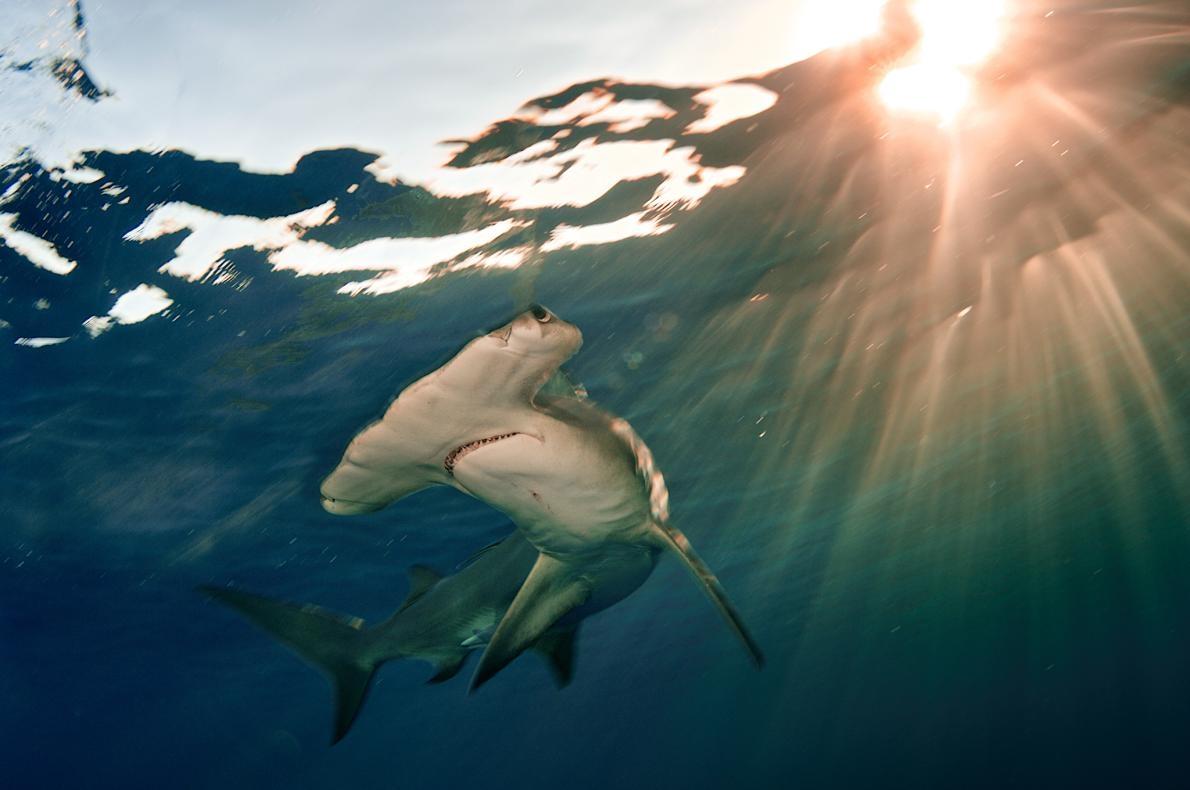 無溝雙髻鯊(如圖中這隻在巴哈馬海域的個體)目前嚴重瀕臨絕種。PHOTOGRAPH BY BRIAN SKERRY, NAT GEO IMAGE COLLECTION
