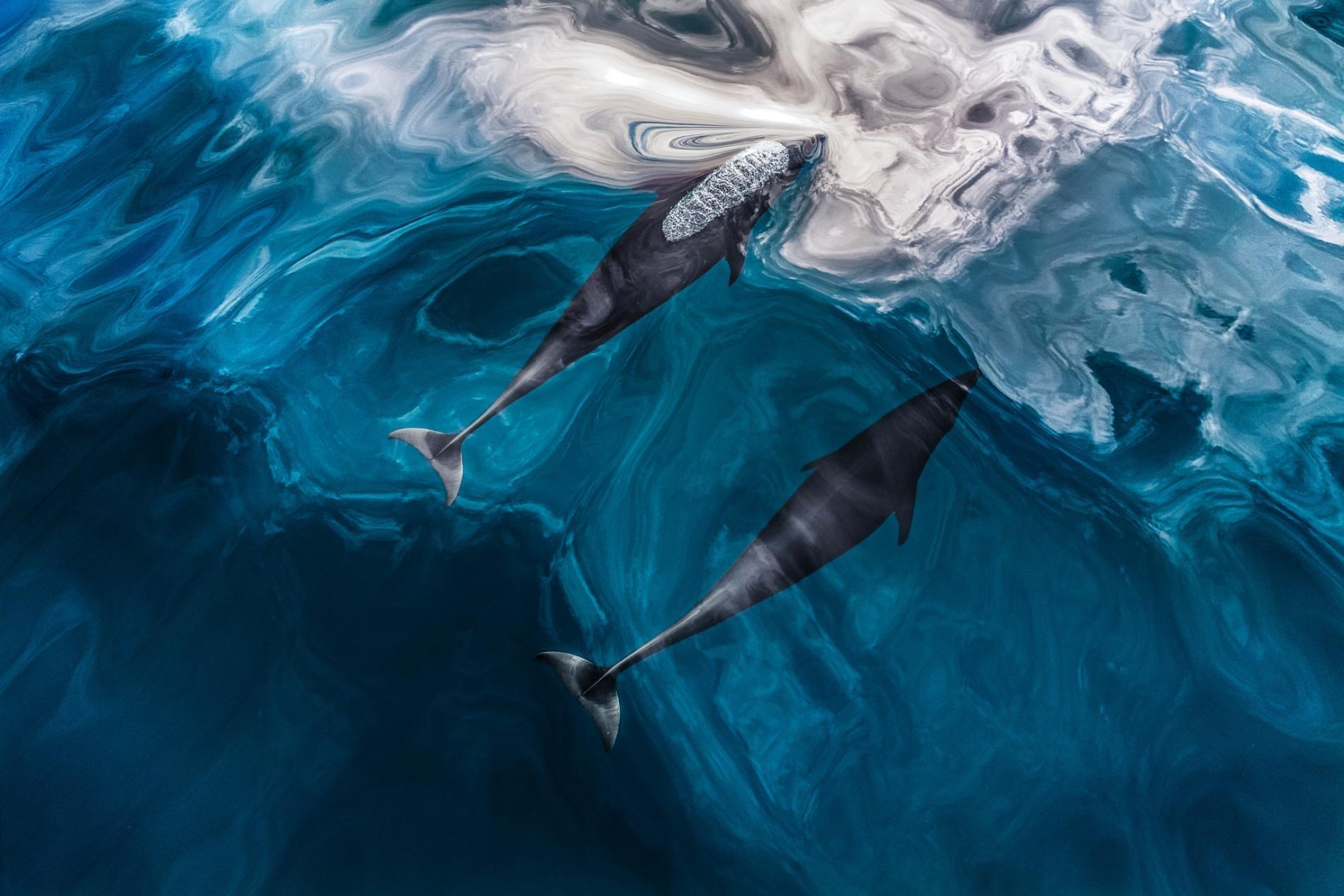 在加拿大不列顛哥倫比亞省附近海域,北露脊海豚就在水面下游泳。回音定位在海裡是一種很合理的策略,聲音在海水中傳播的速度比在空氣中快五倍。PHOTOGRAPH BY PAUL NICKLEN, NAT GEO IMAGE COLLECTION