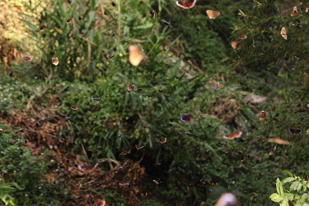 當冬季結束,紫斑蝶便離谷遠行。茂林國家風景區管理處提供