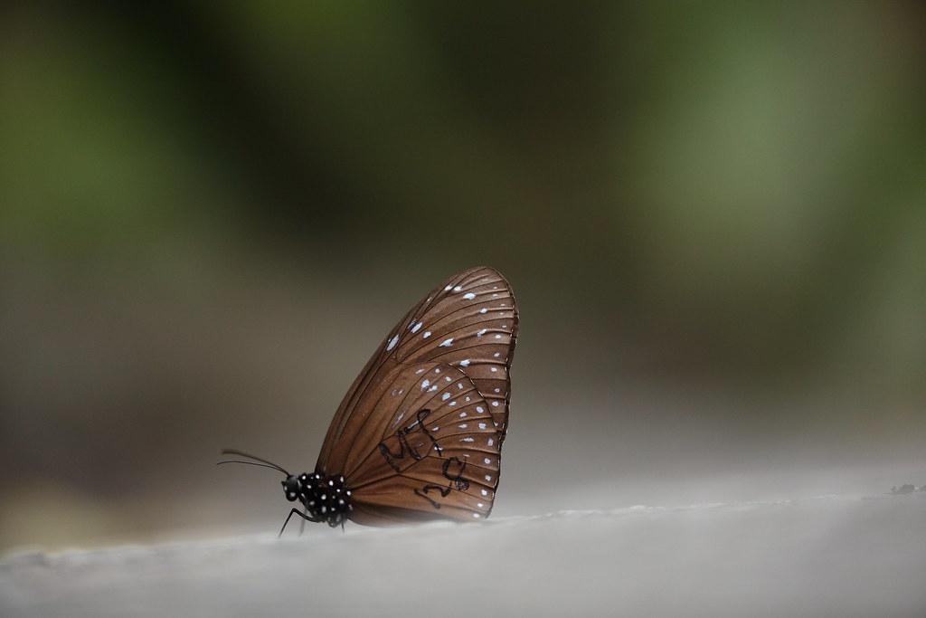 標記代號MT128的端紫斑蝶。茂林國家風景區管理處提供