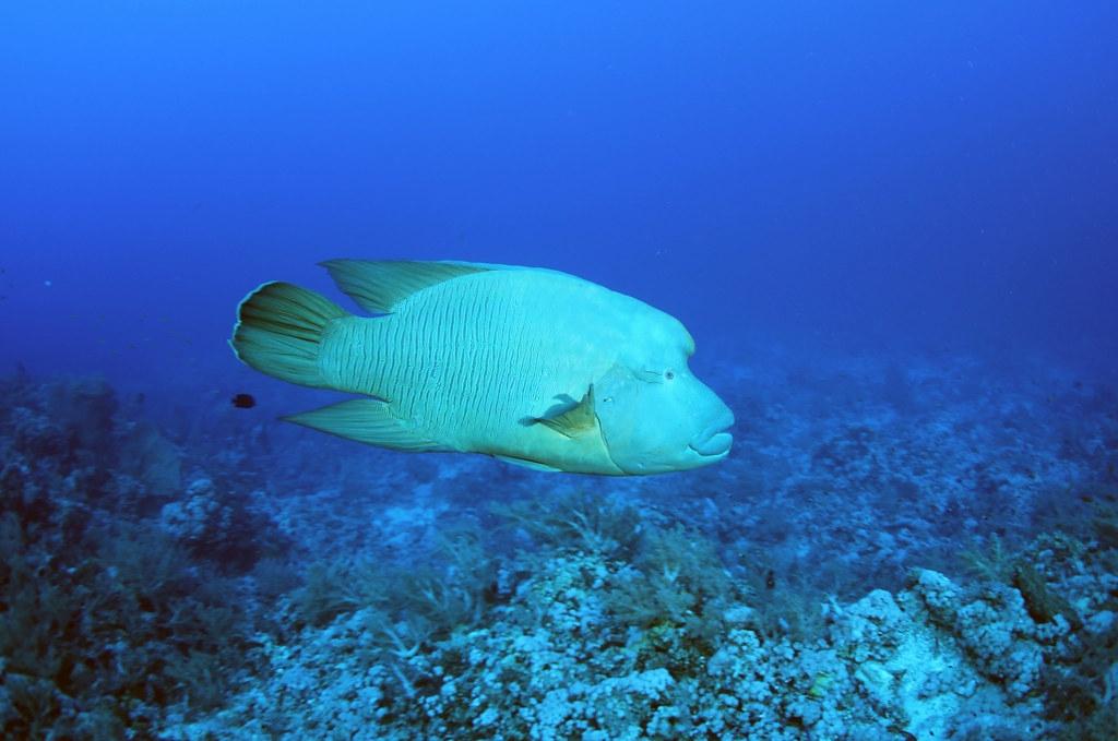 曲紋唇魚又名龍王鯛、蘇眉魚或波紋唇魚,是我國公告的保育類野生動物。圖片來源:林務局