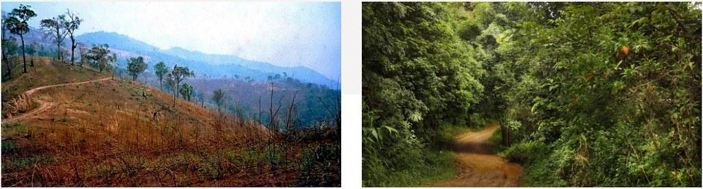 泰國一處造林前(左)和復育後(右),可從照片中彎曲的小路得知相對位置。圖片來源:Stephen Elliott/清邁大學