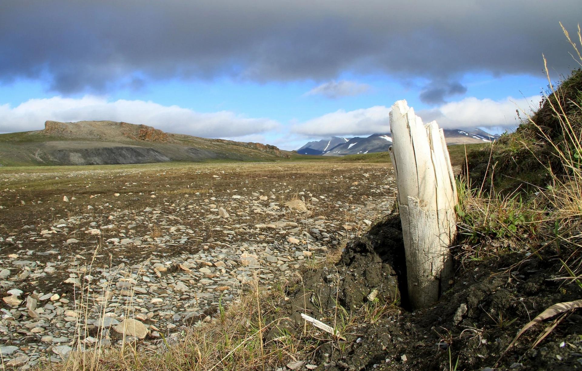 西伯利亞東北部蘭格爾島(Wrangel Island)的永凍土中有時會冒出真猛瑪象的長牙。蘭格爾島是猛瑪象最後的棲地之一,其中有些猛瑪象存活到公元前2500年,這座島因此成為尋找猛瑪象DNA的實用地點。PHOTOGRAPH BY LOVE DALÉN