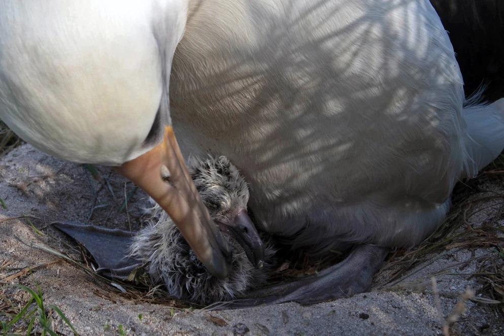 智慧最近生育的雛鳥在2月1日孵化,正在跟父親、也是智慧目前的配偶「阿奇亞卡麥」(譯註:夏威夷語「渴望智慧」之意。)親熱地蹭蹭。 PHOTOGRAPH BY JON BRACK / FRIENDS OF MIDWAY ATOLL NWR / USFWS