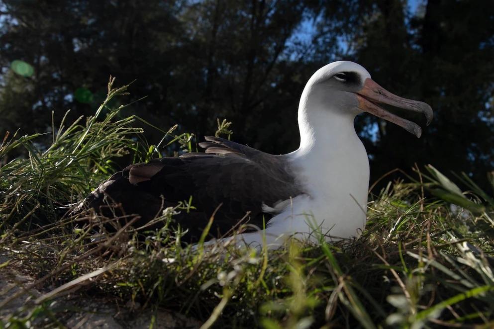 今年滿70歲的智慧,2020年11月時安坐在中途島國家野生動物保護區裡孵蛋。 PHOTOGRAPH BY JON BRACK / FRIENDS OF MIDWAY ATOLL NWR / USFWS
