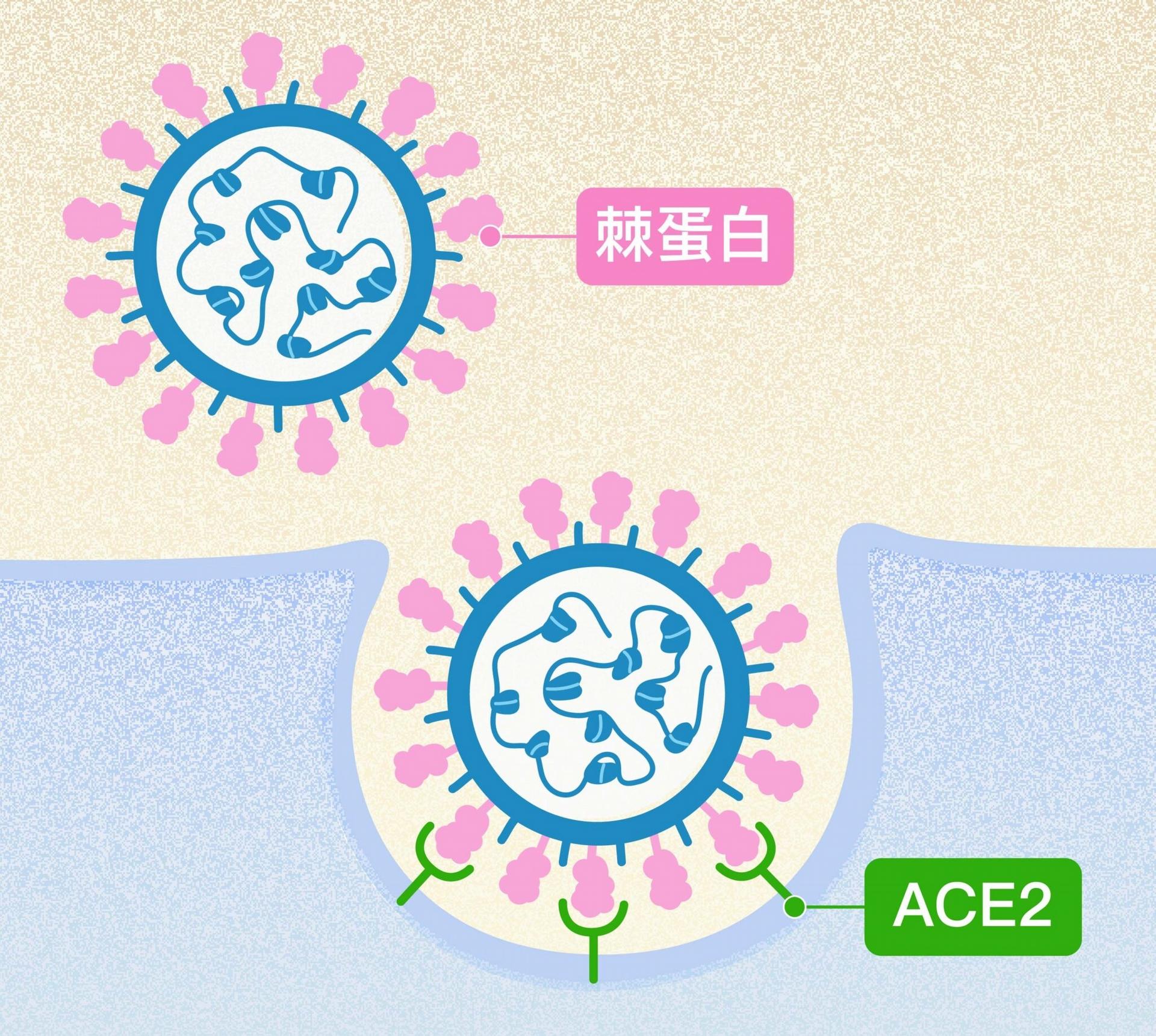 新冠病毒表面突起的棘蛋白(粉紅色突起),會與人體細胞表面受體 ACE2(綠色Y型)結合,藉此感染、進入細胞大量自我複製。 圖│研之有物