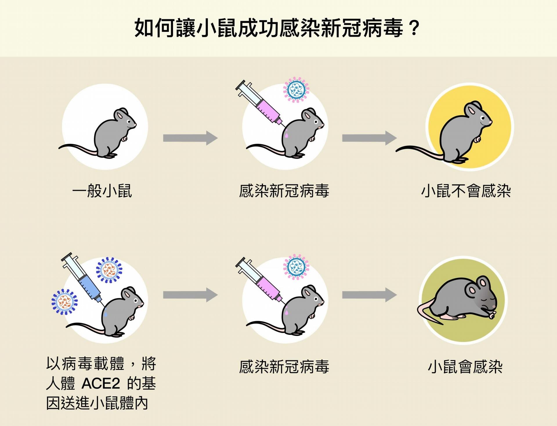 陶秘華研究員以病毒載體,將人體 ACE2 的基因送進小鼠體內,成功使小鼠細胞表現人類的 ACE2,變得可以感染新冠病毒,加速了動物攻毒實驗的進行。 圖│研之有物