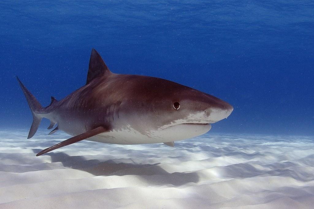 科學家發現,鯊魚是幫助生態系統從極端氣候事件中恢復的重要角色。圖片來源:奧勒岡大學(CC BY-SA 2.0)