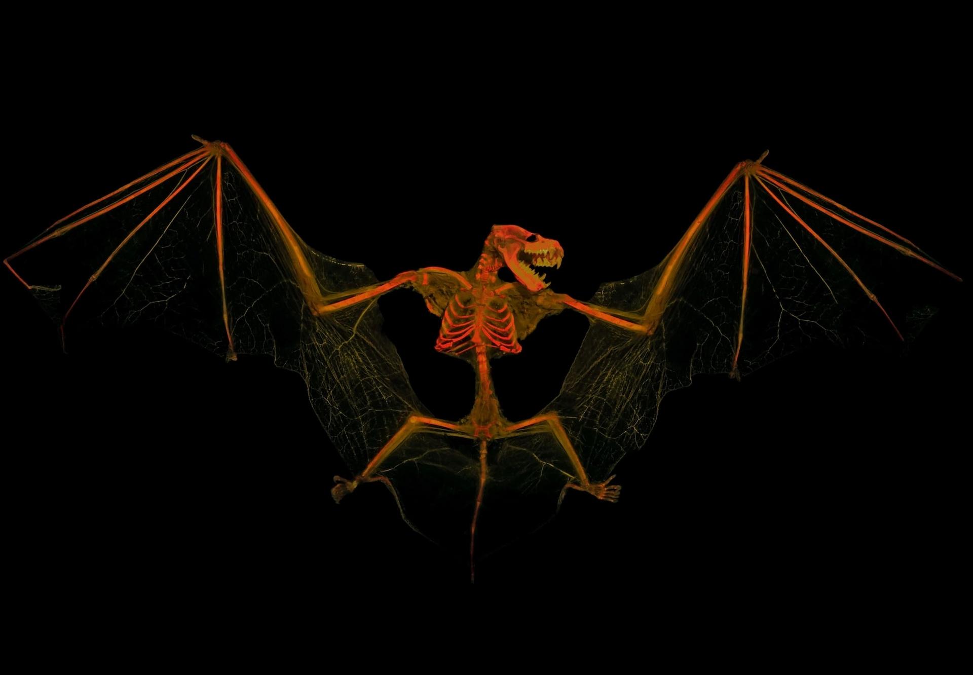 大棕蝠(big brown bat)翼展可以超過30公分。PHOTOGRAPH BY MATTHEW GIRARD, UNIVERSITY OF KANSAS