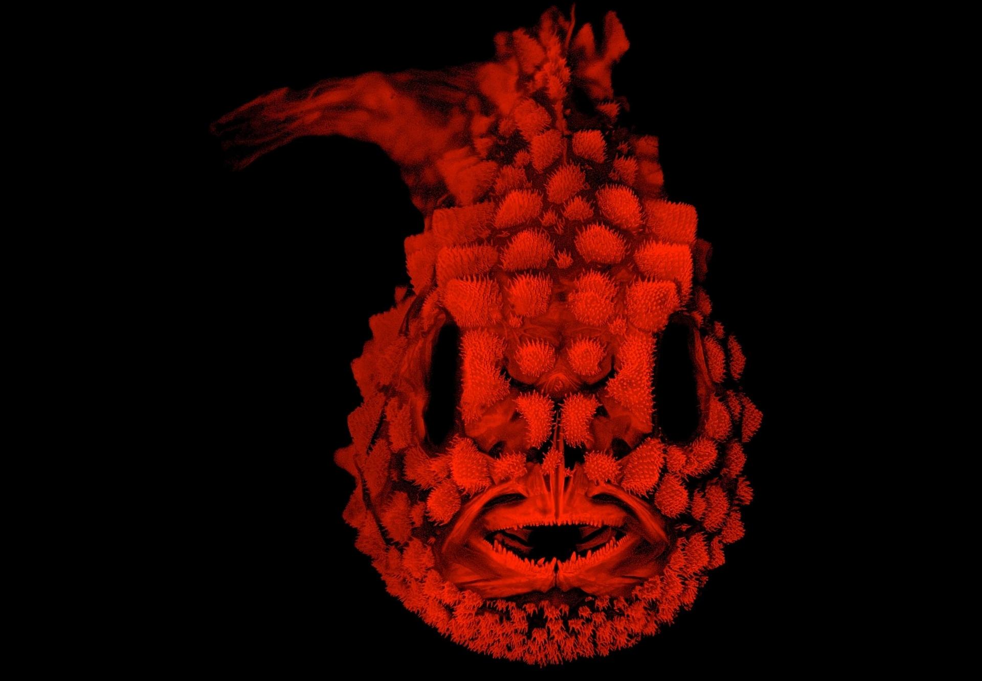 眶真圓鰭魚(Pacific spiny lumpsucker)是種大約兩公分半的小魚,全身布滿了堅硬的疣粒。PHOTOGRAPH COURTESY OF AMERICAN SOCIETY OF ICHTHYOLOGISTS AND HERPETOLOGISTS