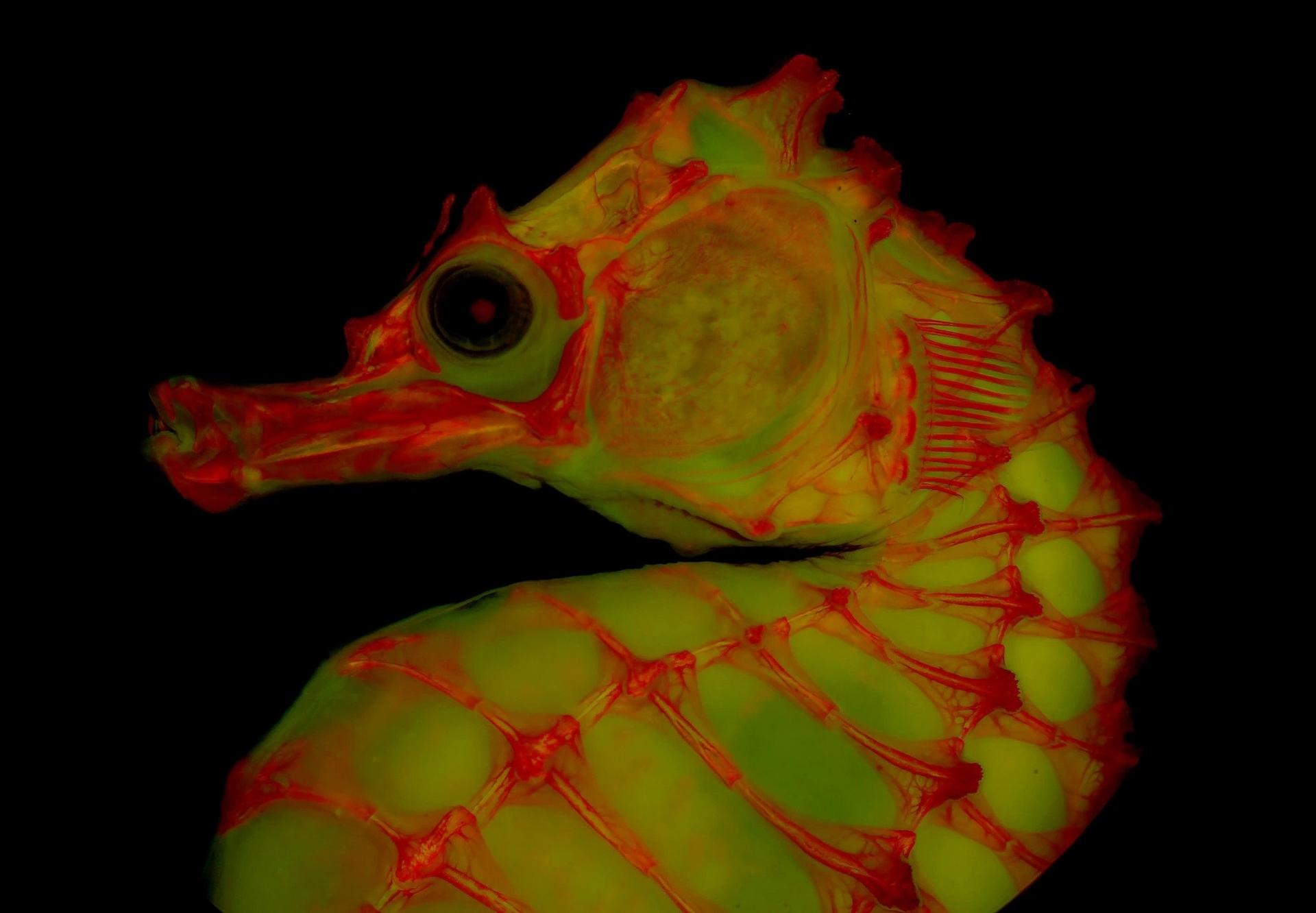 架在甘油明膠混合液中的海馬透明骨骼標本,其身上的染料於螢光燈照耀下發出紅色光芒。這種攝影技術讓科學家能以全新的方式檢視骨骼。PHOTOGRAPH BY LEO SMITH, UNIVERSITY OF KANSAS