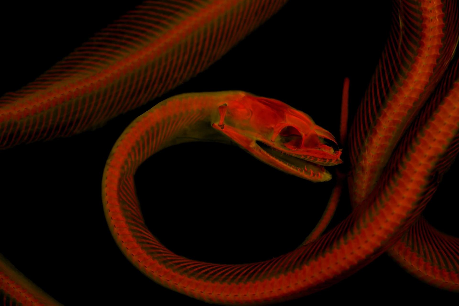 許多如馬氏岩蟒(Macklot's python)這樣的骨架,要是沒有墊個紙巾就可能鬆垮垮的,很難出特定姿勢。但明膠可以將這些骨架固定住,還能在攝影後清洗乾淨。 PHOTOGRAPH BY MATTHEW GIRARD, UNIVERSITY OF KANSAS