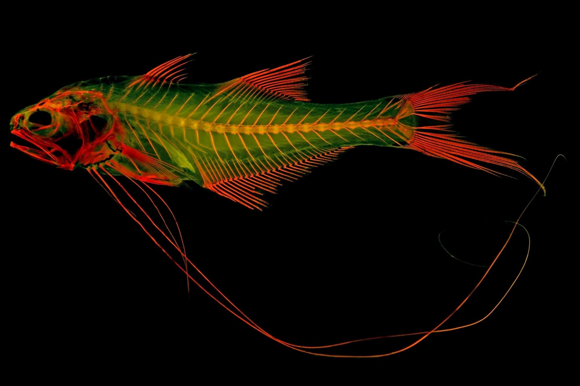 聖克勞德州立大學的生物學教授麥特.戴維斯以五絲長指馬鮁(royal threadfin)染過紅色染劑的骨骼標本為例,說明這項技術與夜光玩具的原理類似,在特定波長光線下會發出陣陣螢光。PHOTOGRAPH BY MATTHEW GIRARD, UNIVERSITY OF KANSAS