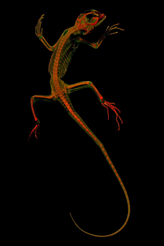 以藍唇樹蜥( blue-lipped tree lizard)為例,脊椎動物研究者利用影像來探究動物如何演化,並鑑定牠們與其他物種有哪些共有特徵。PHOTOGRAPH BY MATTHEW GIRARD, UNIVERSITY OF KANSAS