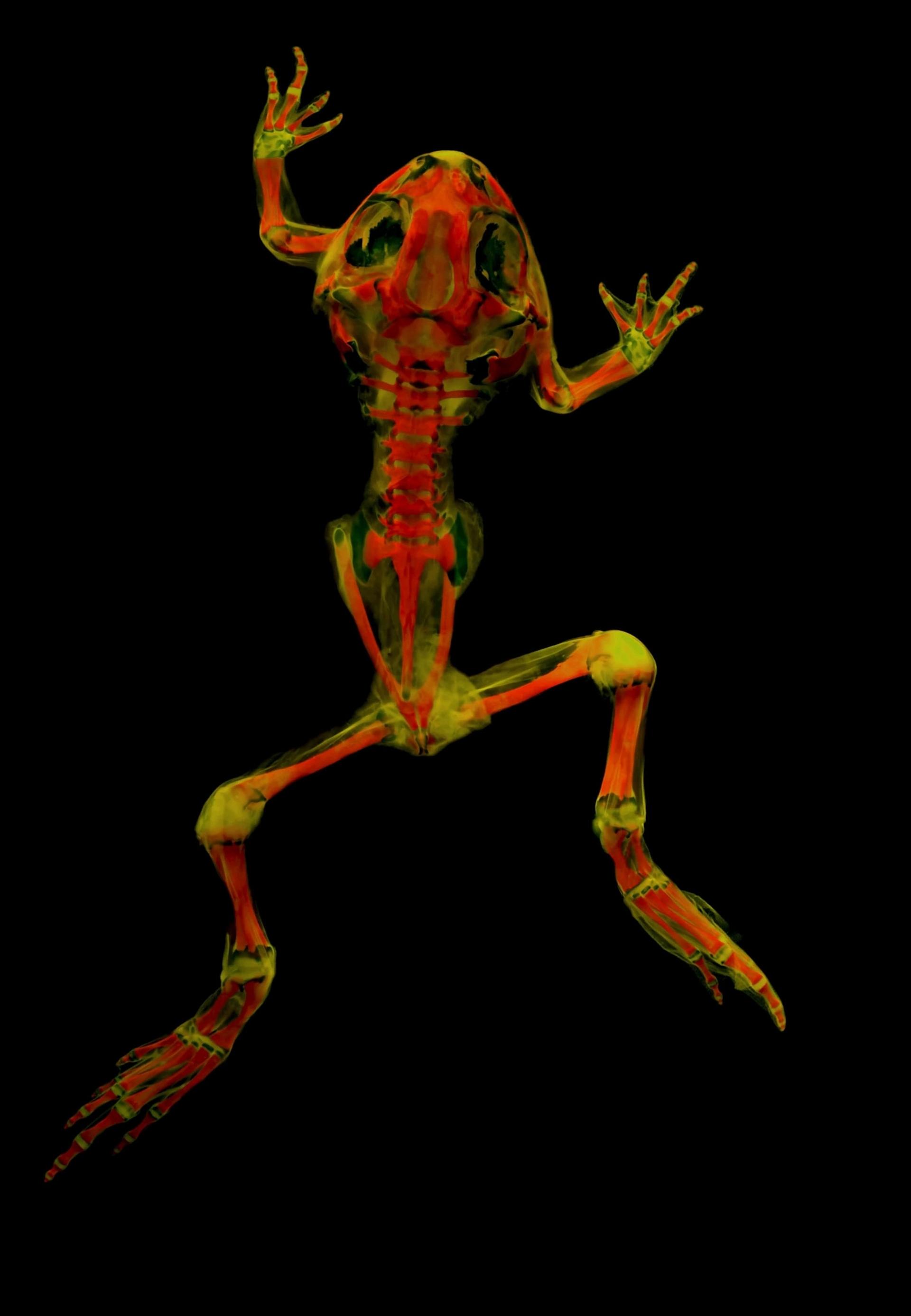 平原鋤足蟾(plains spadefoot toad)分布在加拿大到墨西哥的美洲中西部,開發這種攝影技術的研究人員已經開始透過不同的波長與濾鏡進行實驗,看看這些骨頭還能透露出什麼訊息。 PHOTOGRAPH BY MATTHEW GIRARD, UNIVERSITY OF KANSAS