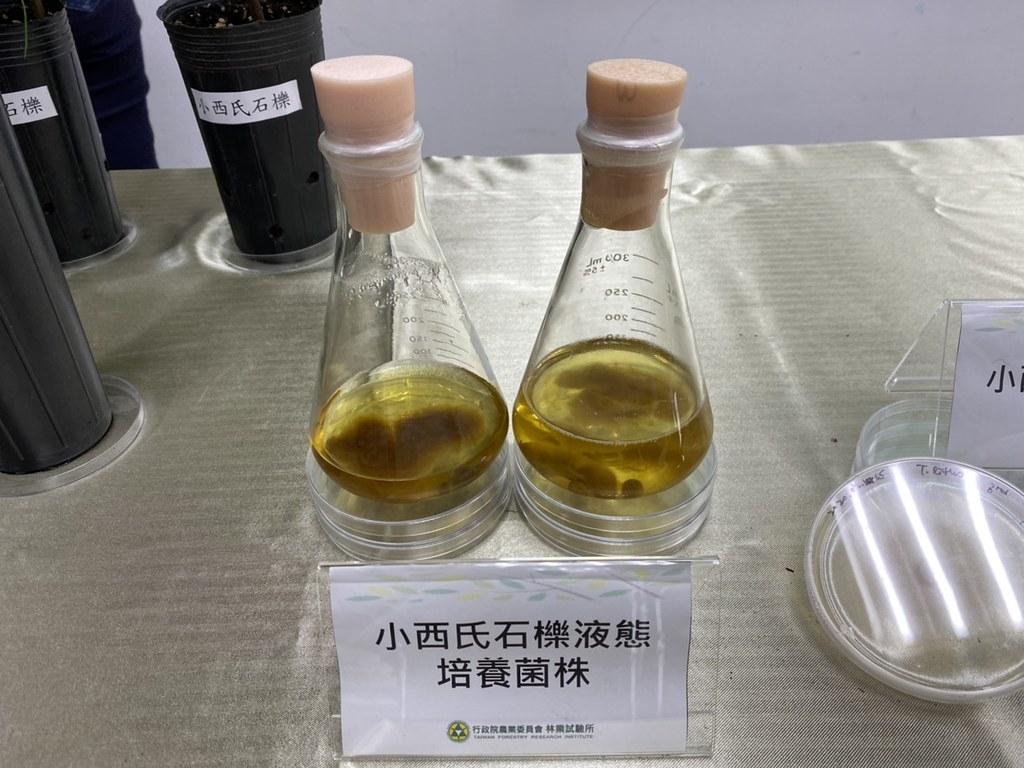 小西氏石櫟松露液態培養菌株。李蘇竣攝