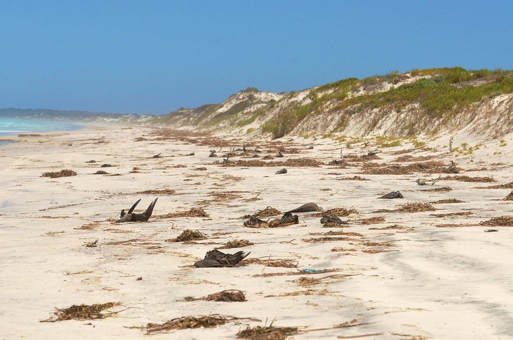 澳洲海灘上多年前神祕出現百萬隻海鳥的屍體,今天科學家們總算解開謎團。照片來源:Laurie Boyle(CC BY-SA 2.0)
