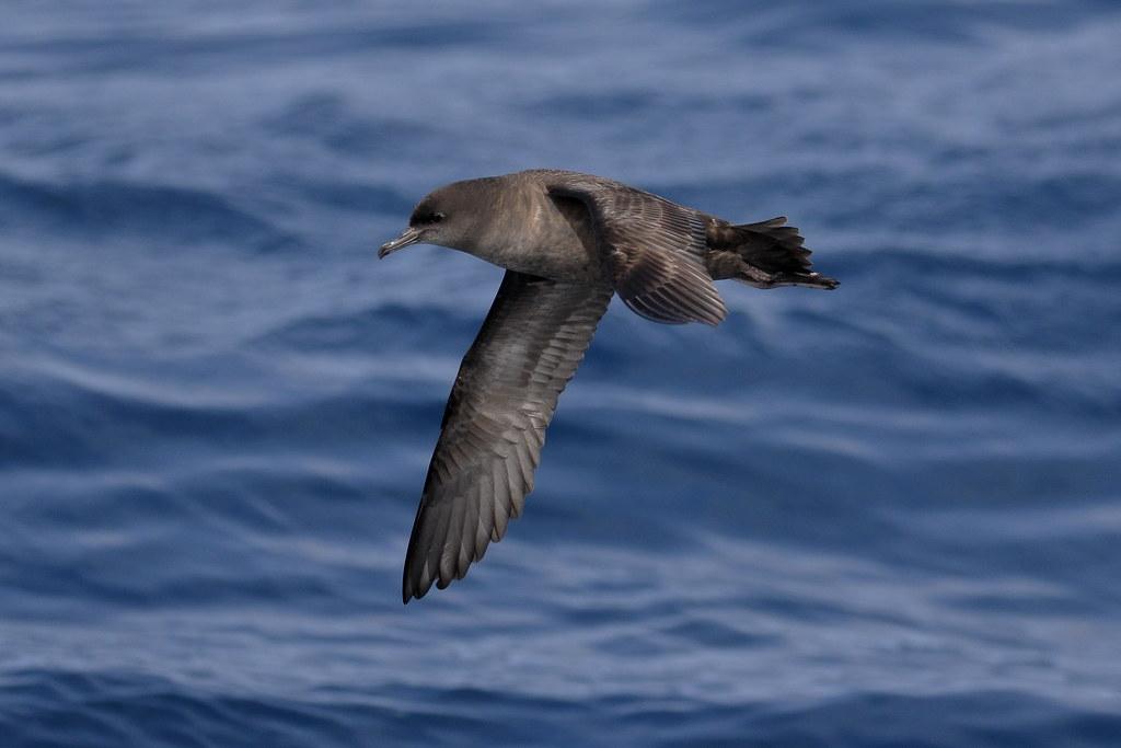 短尾水薙鳥在海上飛翔。照片來源:Ed Dunens(CC BY 2.0)
