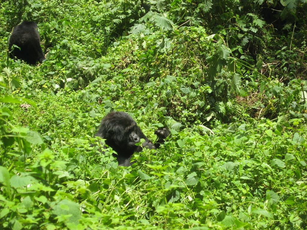科學家表示,大猩猩的棲息地植被茂密,敲打胸部是一種用聲音傳達體型的方法。圖片來源:Jocelyn Saurini(CC BY 2.0)
