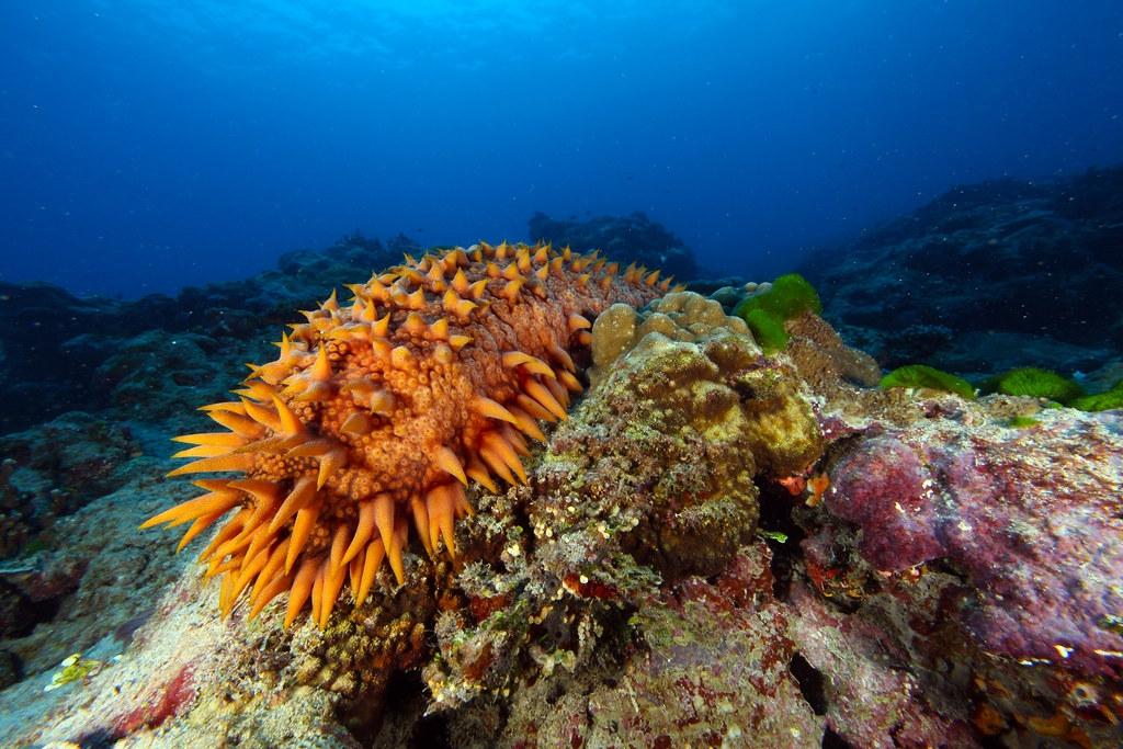 海參走私與過度捕撈問題正影響生物多樣性與斯里蘭卡當地漁民的生計。照片來源:Greg McFall/NOAA(CC BY 2.0)