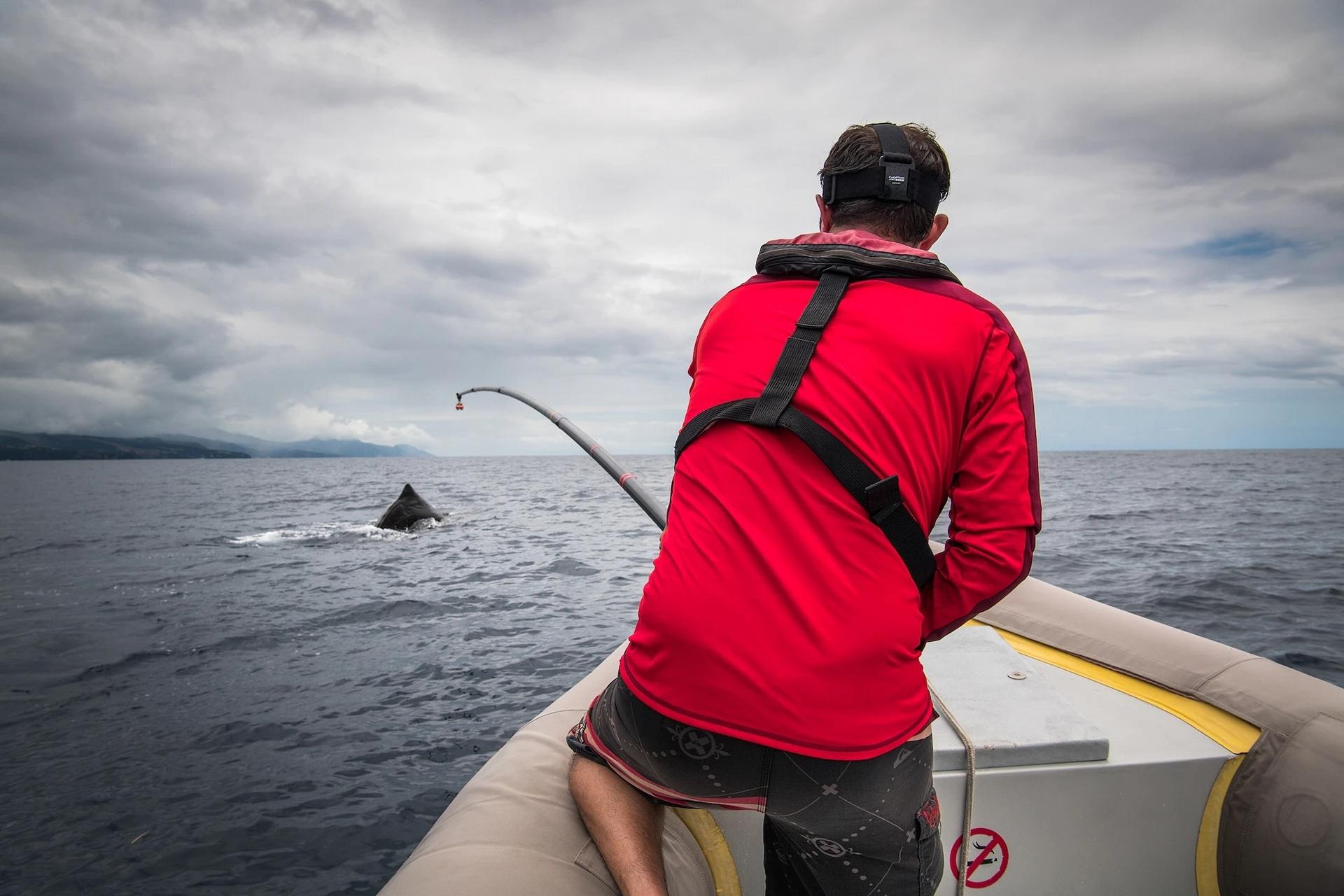 葛洛在標記一隻抹香鯨,他從2005年就在這個區域研究鯨魚。他發現了鯨魚的獨特文化乃至祖先傳統的不同層面。他把行為定義為牠們做了「什麼」,把文化定義為牠們「如何」做出行為。PHOTOGRAPH BY BRIAN SKERRY