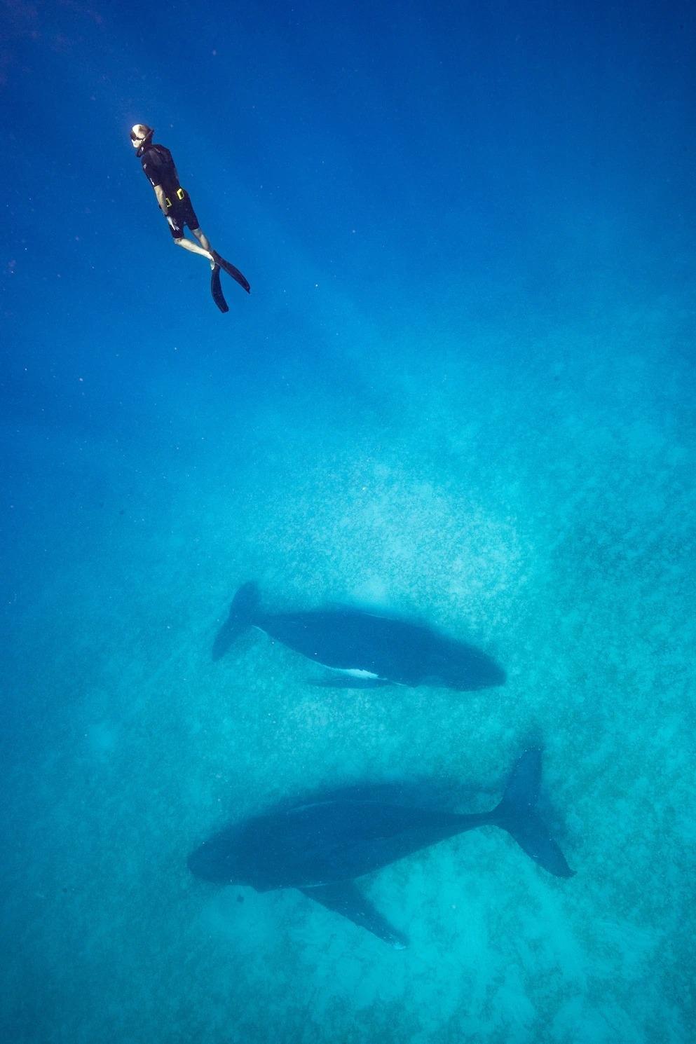 史蓋瑞在東加外海自由潛水來拍攝座頭鯨之後往上游。為了這項計畫,他必須捨棄水肺潛水裝備,並為長時間水下活動做準備。水肺潛水裝備可能會產生氣泡和噪音,因而嚇退鯨魚。他在瓦爾登湖練習自由潛水,那裡位於他在麻薩諸塞州的家附近。PHOTOGRAPH BY STEVE DE NEEF
