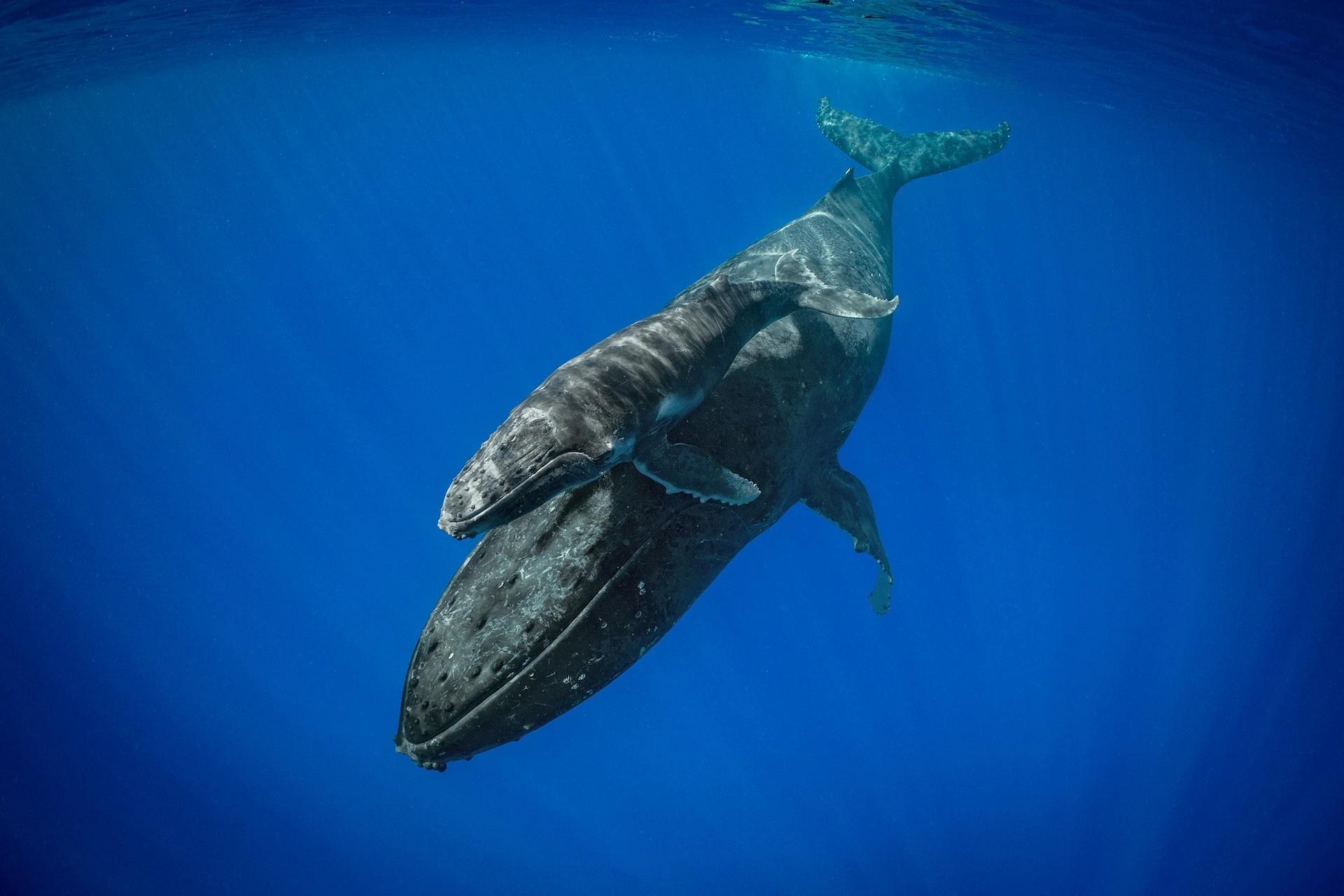 在東加的外海水域,座頭鯨母鯨和幼鯨會共度將近一年時間,因為母鯨會教導幼鯨如何生存。PHOTOGRAPH BY BRIAN SKERRY