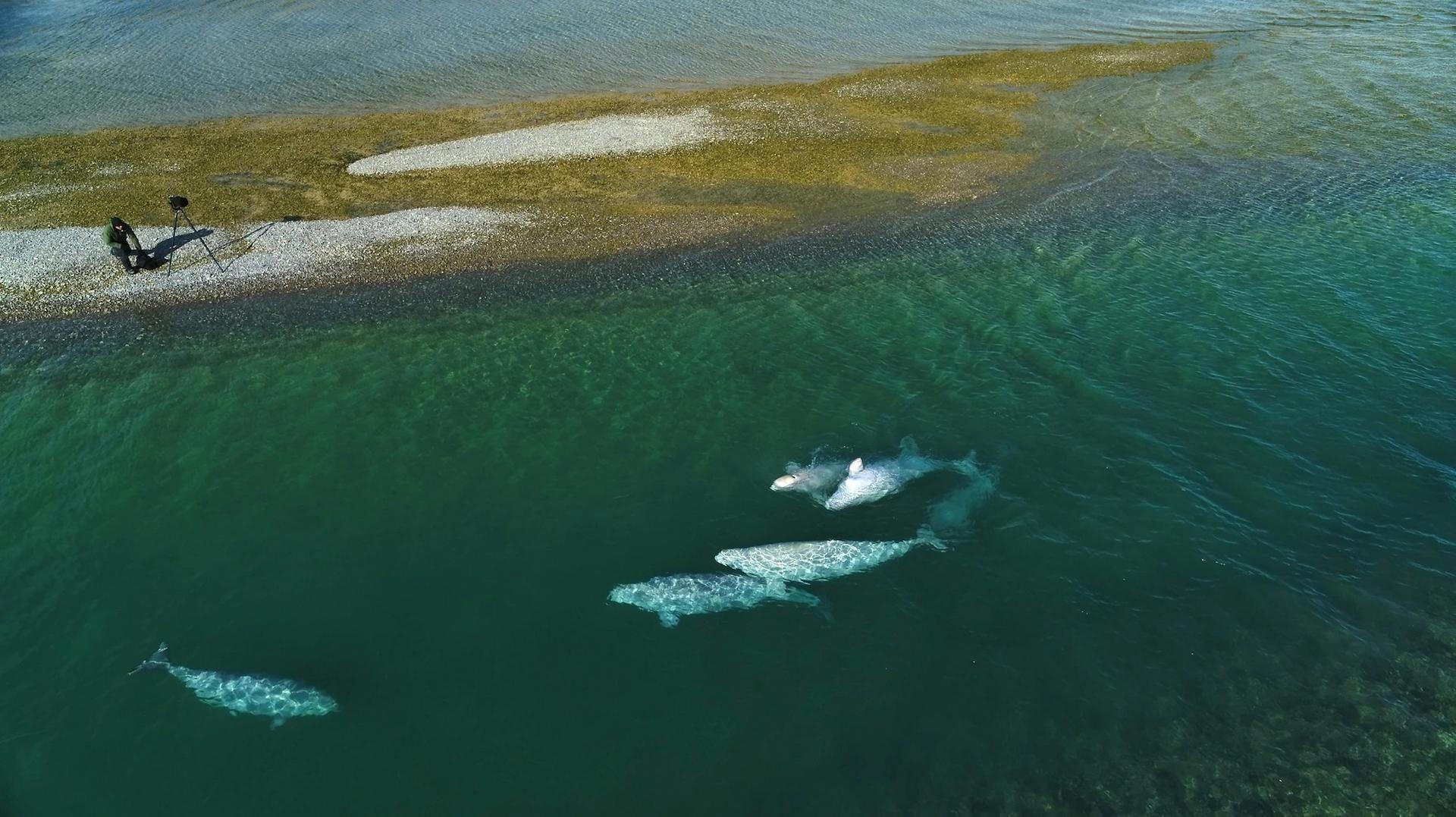 史蓋瑞從加拿大北極圈的一處河灣觀察白鯨,每年春季融冰期之後,大約2000隻白鯨會聚集在那裡,有些白鯨會遷徙長達1600公里的距離。牠們在這處河口生下幼鯨,並與其他白鯨族群社交。PHOTOGRAPH BY NANSEN WEBER