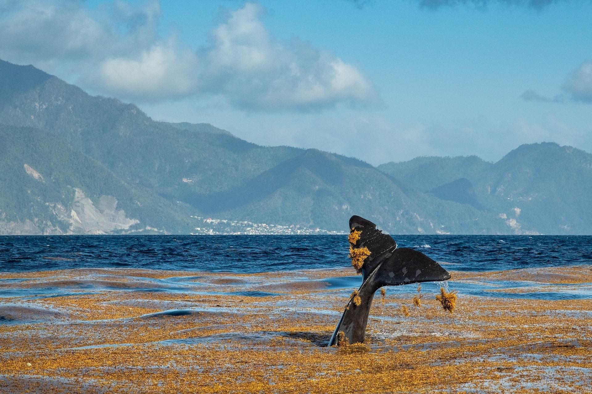 一隻抹香鯨在多米尼克外海的一片馬尾藻中玩耍。儘管我們很少會見到這種行為,但鯨魚似乎很享受粗糙海草刮擦皮膚的感覺。PHOTOGRAPH BY BRIAN SKERRY