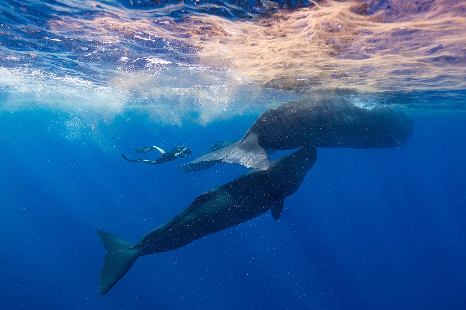 布萊恩.史蓋瑞在加勒比海島國多米尼克的外海拍攝一群抹香鯨。他進行一項關於鯨魚文化的大規模計畫時納入了24個地點,多米尼克就是其中之一。PHOTOGRAPH BY STEVE DE NEEF