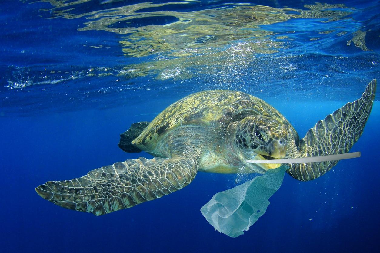 綠蠵龜以為塑膠袋是水母就一口吞下,但沒有味覺、無法分辨,沒辦法吐出,都累積在肚子裡。國立臺灣海洋大學的程一駿教授長期研究綠蠵龜,更發現死亡綠蠵龜肚子裡有各式各樣的垃圾。 圖│iStock