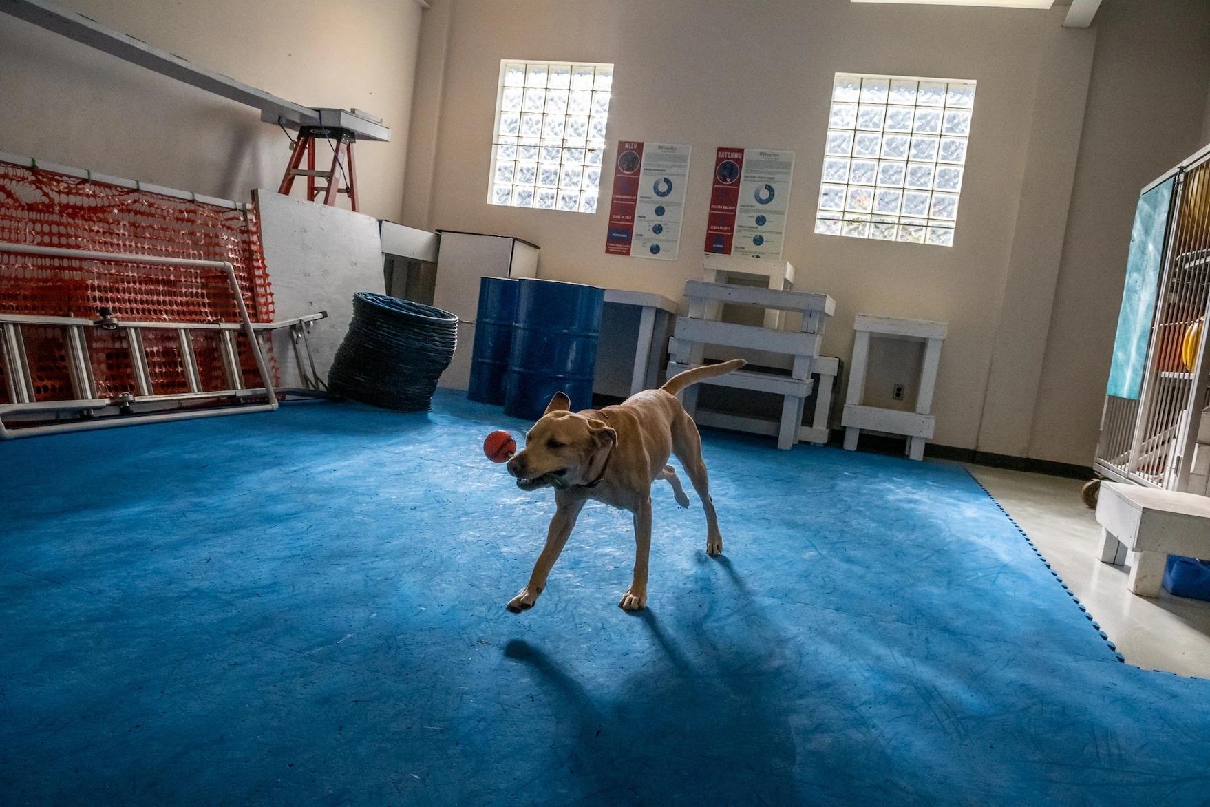 羅克西是一隻容易緊張的黃色拉布拉多犬,牠在開始實驗前玩耍。工作犬中心的博士後研究員阿米塔.馬利卡瓊(Amritha Mallikarjun)說:「牠做實驗前必須先玩耍,因為牠的活力太旺盛了。」