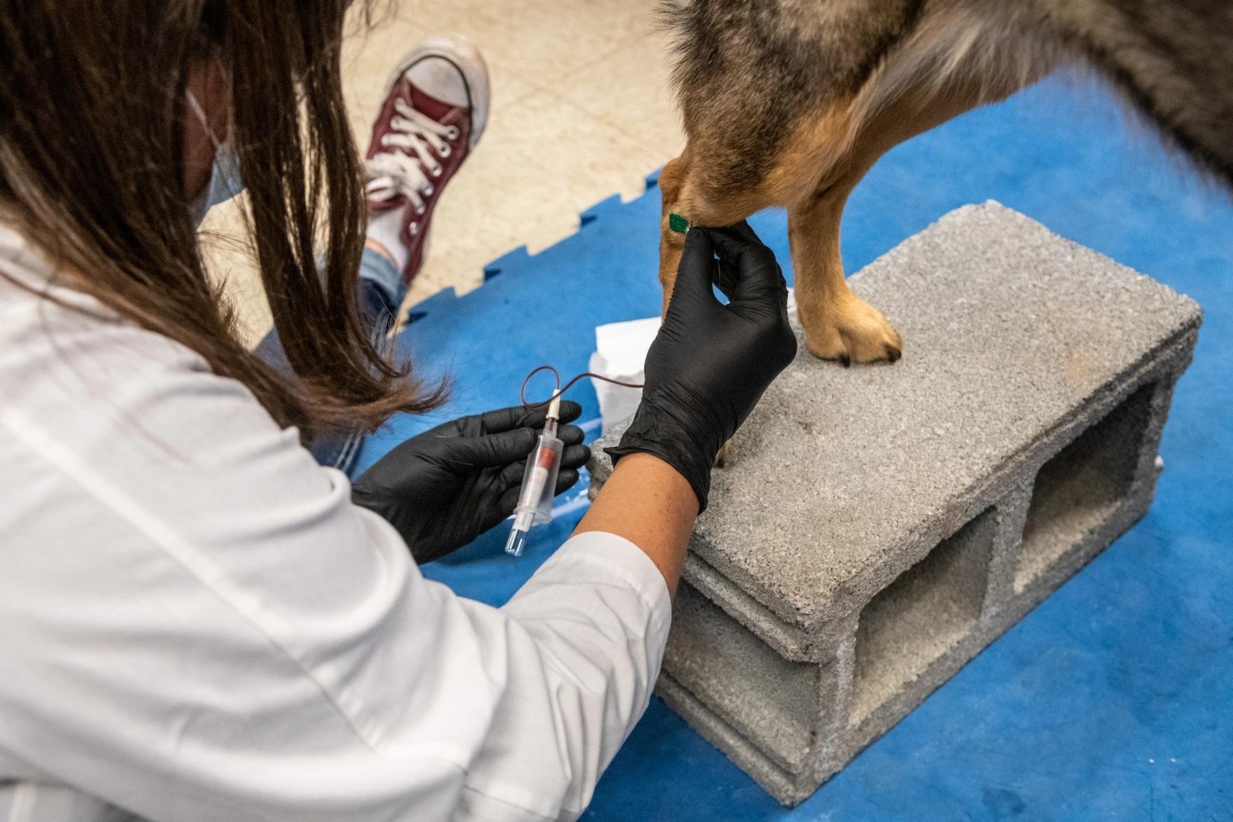 研究人員在研究開始前收集血液樣本與口腔拭子,以確保狗沒有感染COVID-19。