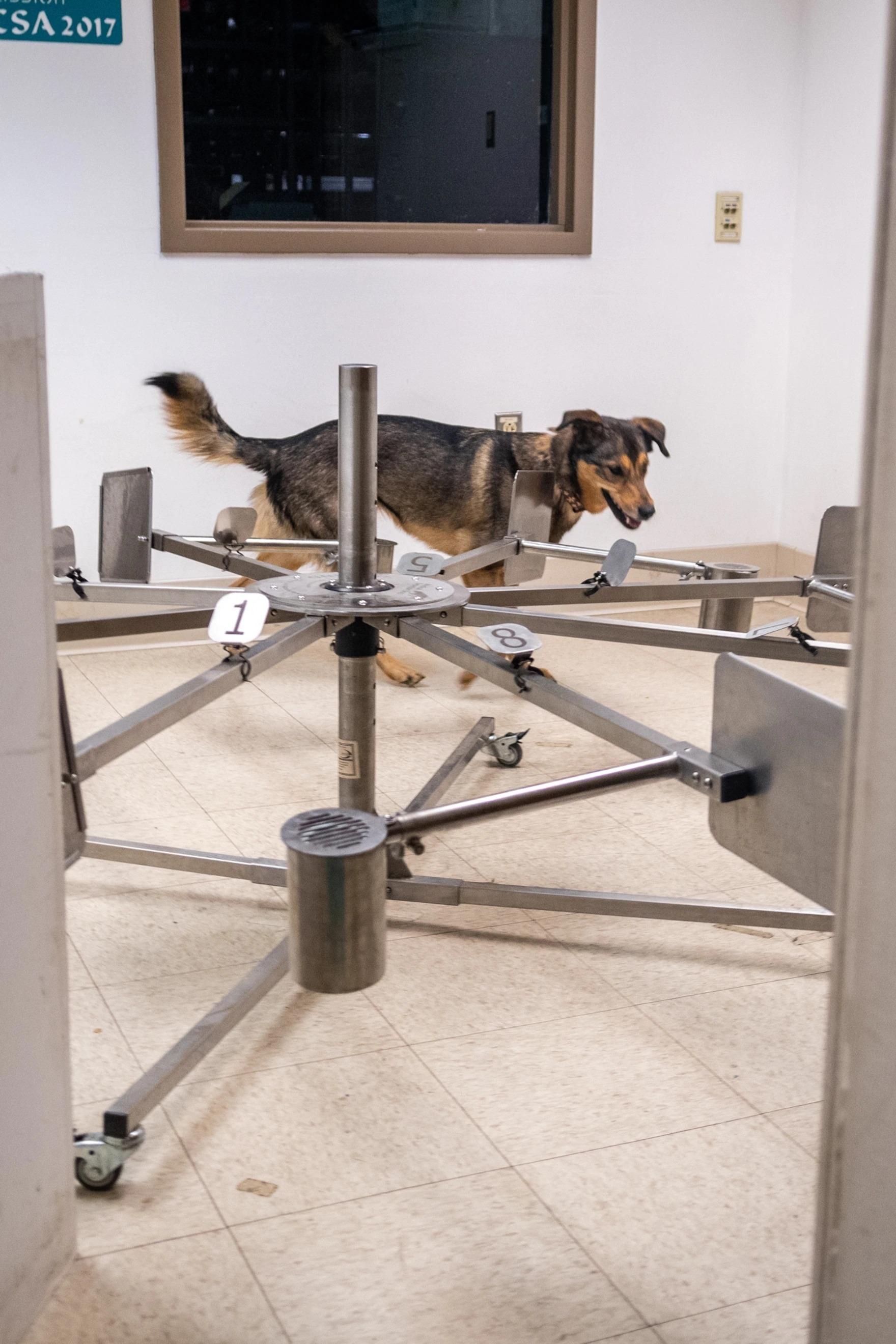 圖卡是一隻混合德國牧羊犬、哈士奇和邊境牧羊犬血統的混種犬,牠在輪子旁邊練習病毒偵測技巧。