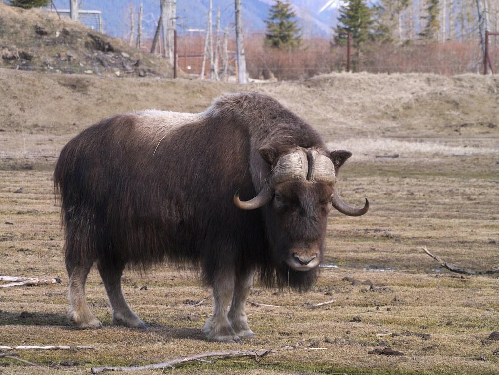 麝牛。升溫使病原體出現,對部分北極動物的健康產生負面影響。照片來源:Nick Vargish(CC BY-NC 2.0)