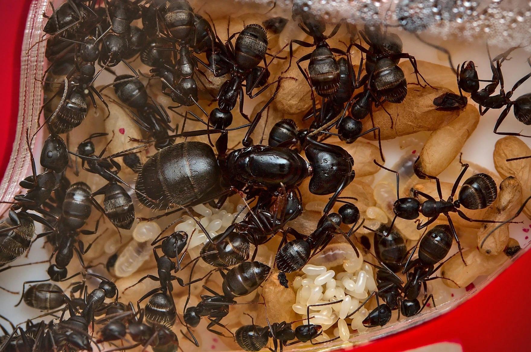 賓州弓背蟻(Camponotus pennsylvanicus)圍繞著蟻后,並照顧新生的下一代──包含了蟻后下方像是飯粒的卵,以及準備孵化的蛹。 PHOTOGRAPH BY LUKE DOYLE, BUCKEYE MYRMECOLOGY