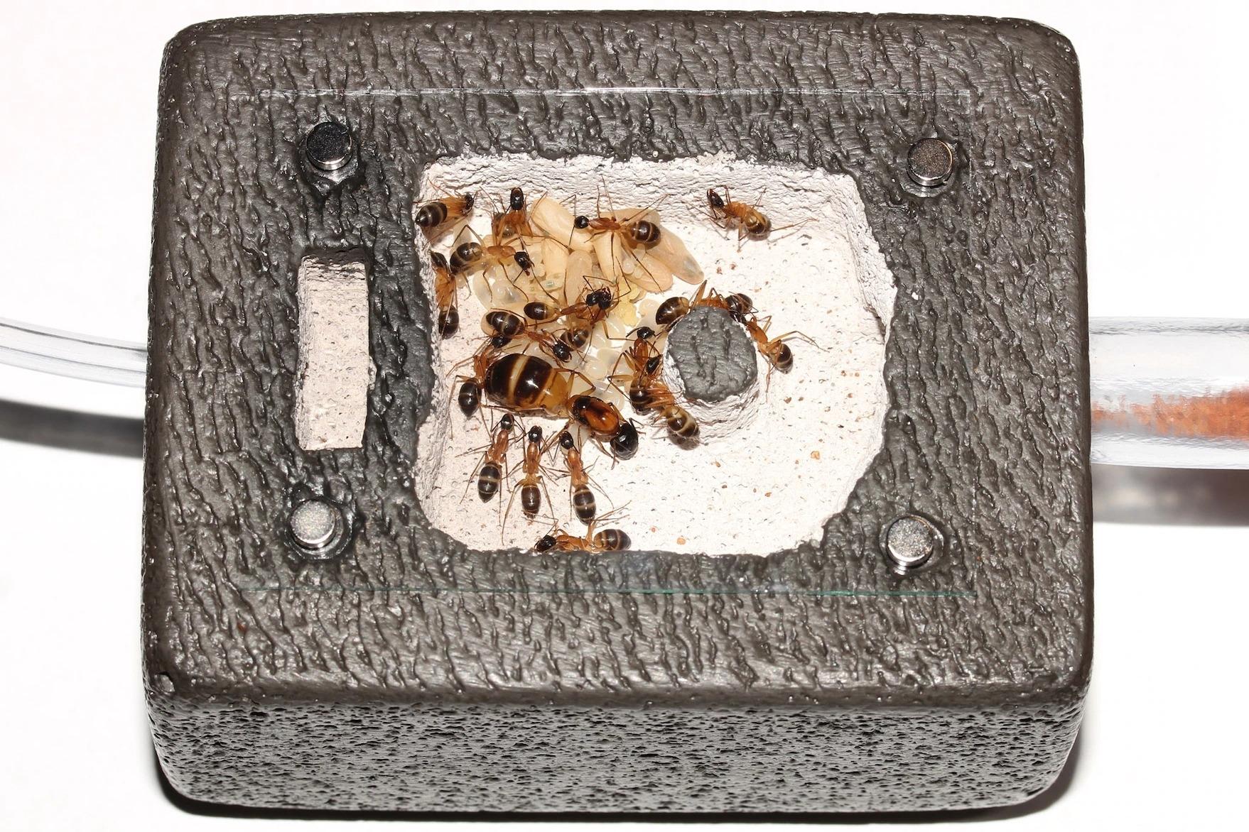 《國家地理》雜誌特地請玩家們拍下他們的蟻群。圖中是居住赫貝爾磚(Hebel brick,一種由蒸壓養護輕質混凝土製成的磚塊)中的橙布弓背蟻(Camponotus consobrinus),磚上還塗有主成分為天然白堊土與黏土的塗料;在蟻窩左側,有一個水槽可以維持巢穴濕度,右側則有一個管子可以通向更大的棲地。PHOTOGRAPH BY RILEY TAYLOR