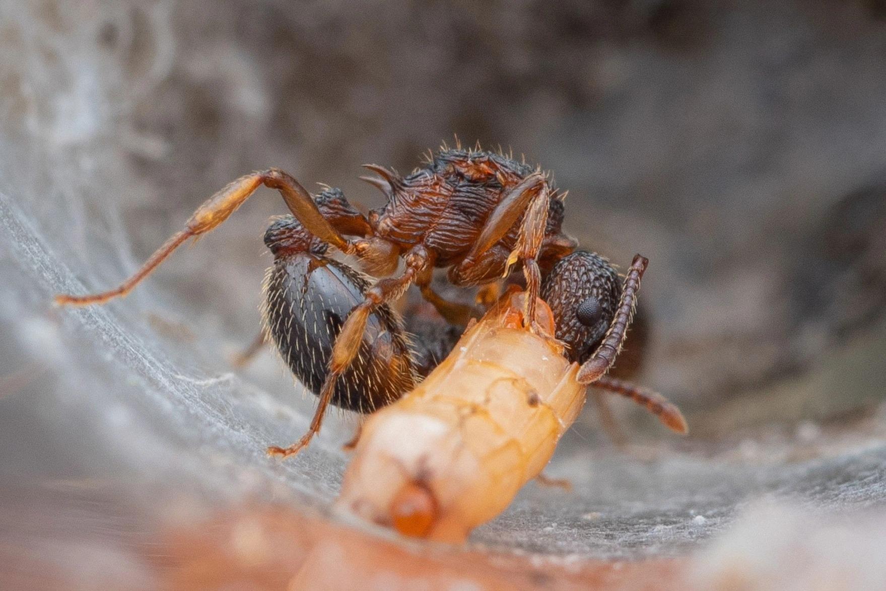 點腹家蟻(Myrmica punctiventris)的蟻后正在試管中吃著小條的麵包蟲。PHOTOGRAPH BY MAX HIKE