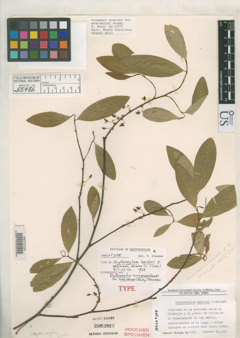來自菲爾德自然史博物館的特魯西優古柯(Trujillo coca)樣本。 圖│Smithsonian Institution(CC BY-NC-SA 4.0)
