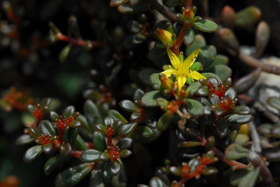 太魯閣特有種植物——太魯閣佛甲草。太管處提供