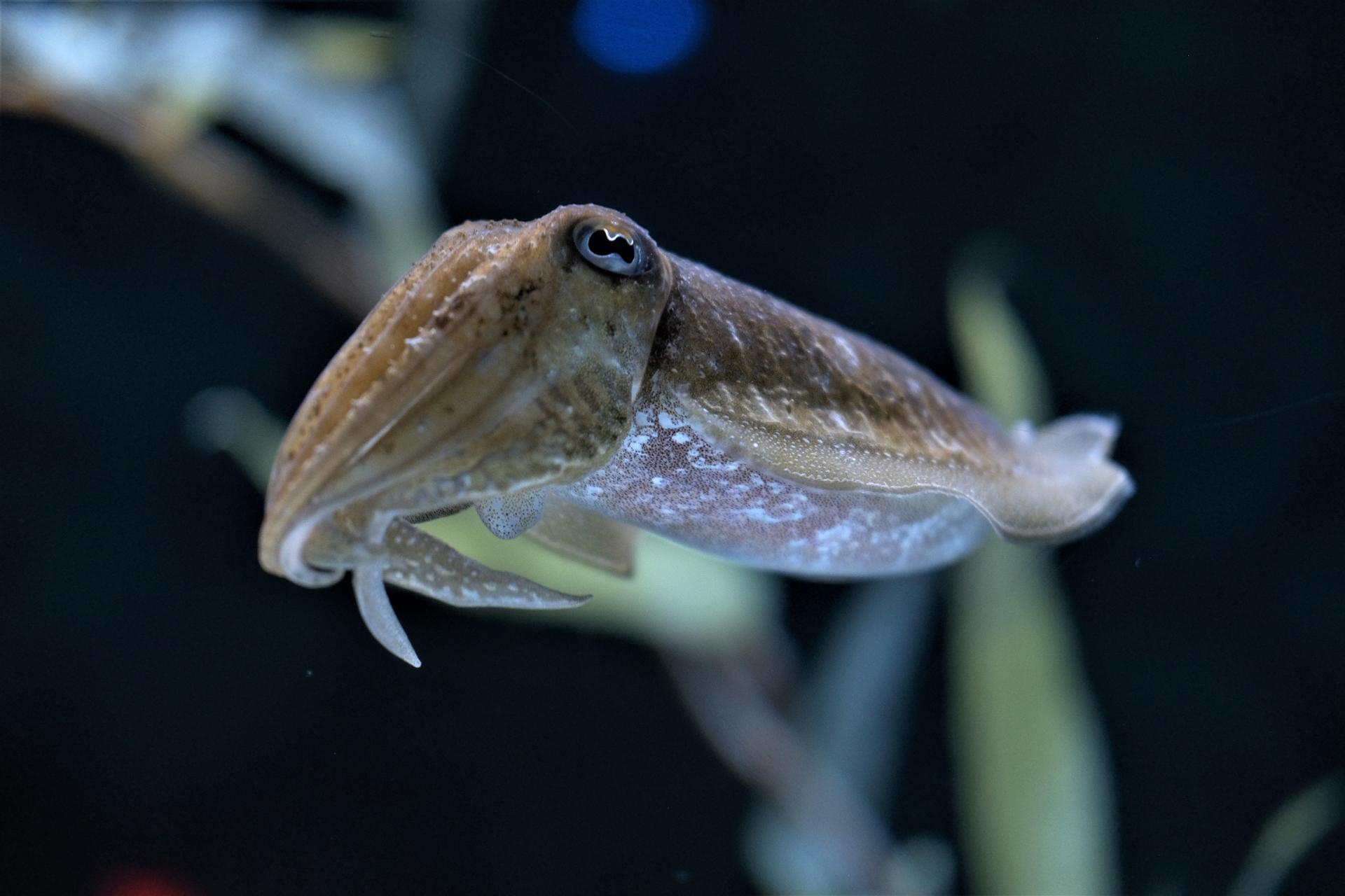 烏賊又名花枝、墨魚,屬於頭足綱軟體動物。/圖pixabay
