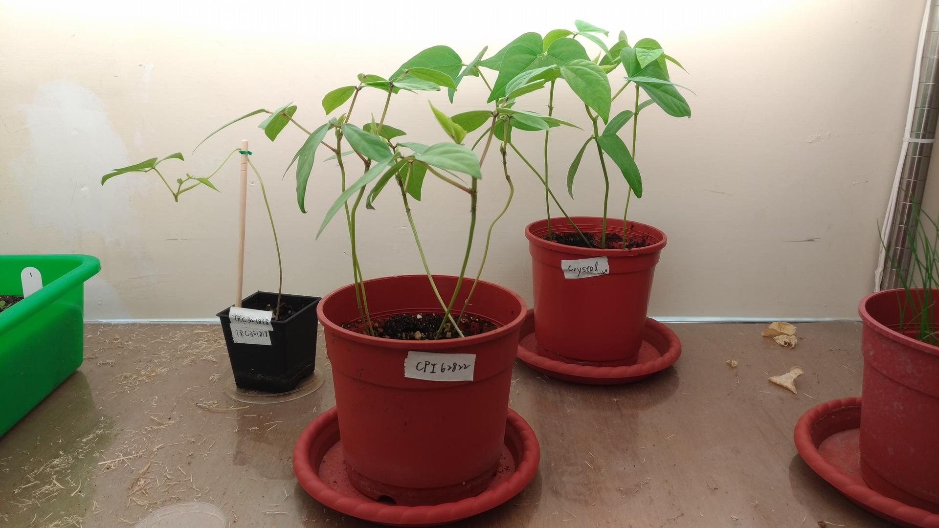 李承叡植物房中的綠豆。(圖/劉馨香攝)
