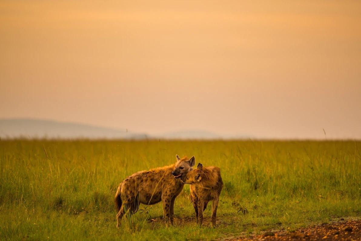 肯亞馬賽馬拉國家保護區裡一隻斑鬣狗寶寶正舔拭著媽媽。PHOTOGRAPH BY SHANNON WILD, NAT GEO IMAGE COLLECTION