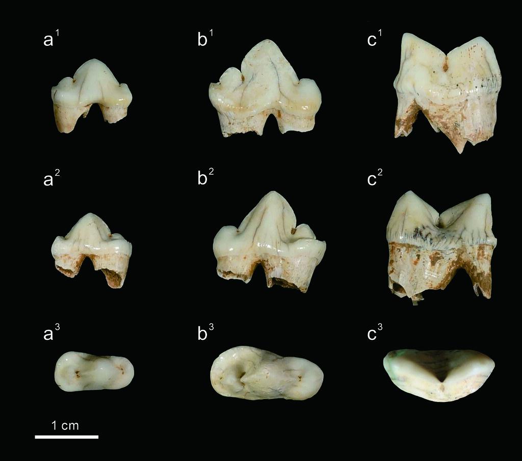 墾丁花豹三顆臼齒化石照片。圖片來源:科博館
