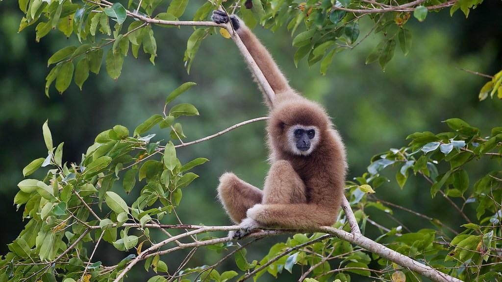 白掌長臂猿( lar gibbon)是可能受到山林砍伐影響的物種之一。照片來源:JJ Harrison/維基百科