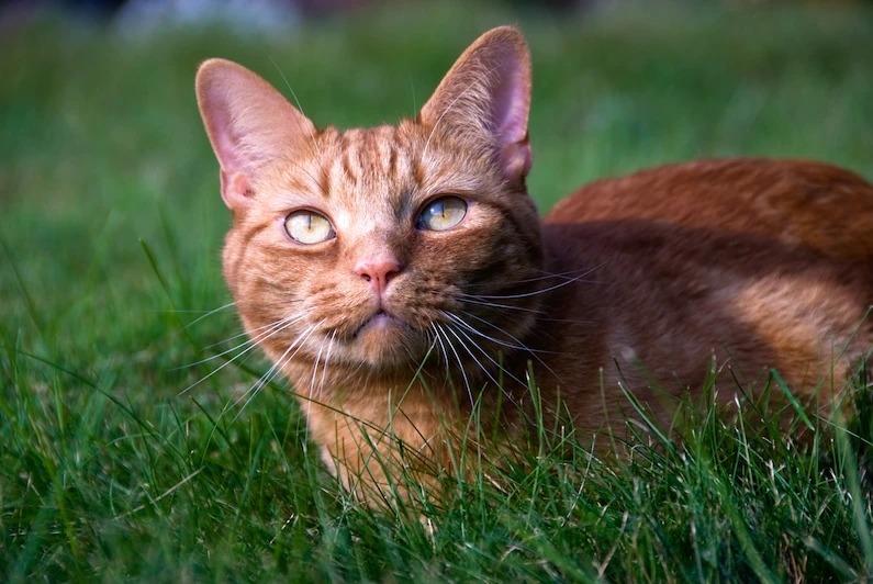 虎斑條紋源自家貓的直系祖先,近東野貓。PHOTOGRAPH BY TODD GIPSTEIN, NAT GEO IMAGE COLLECTION