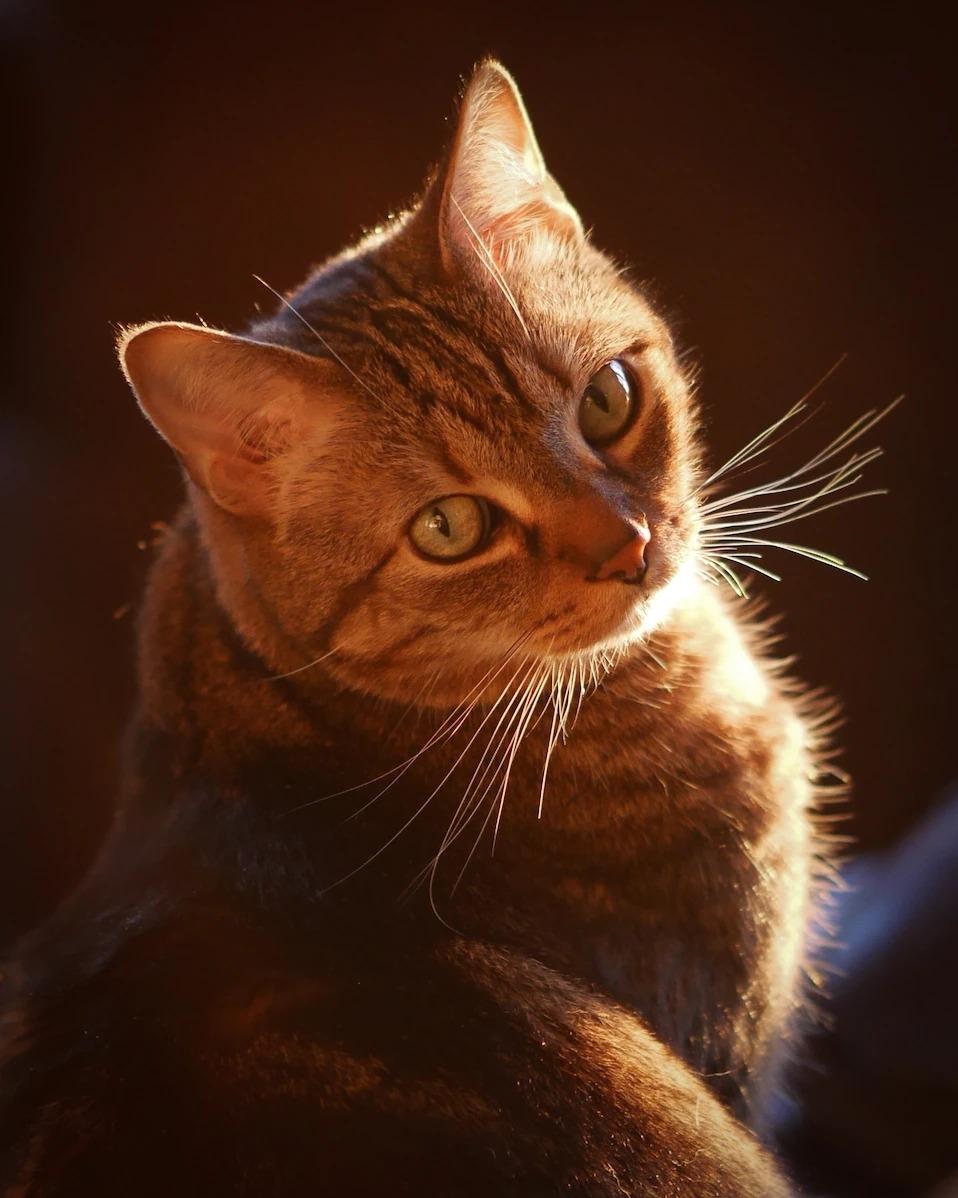 在全美國將近6000萬隻寵物貓中,經典條紋虎斑特別受歡迎。PHOTOGRAPH BY AL PETTEWAY AND AMY WHITE, NAT GEO IMAGE COLLECTION