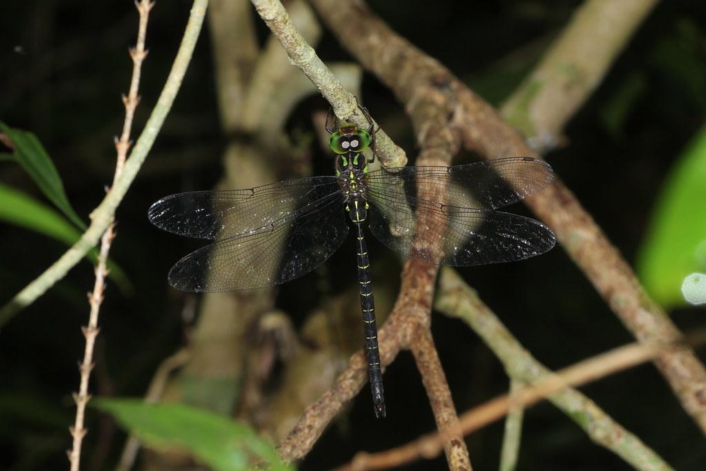 微刺晏蜓成蟲。圖片來源:馬承漢
