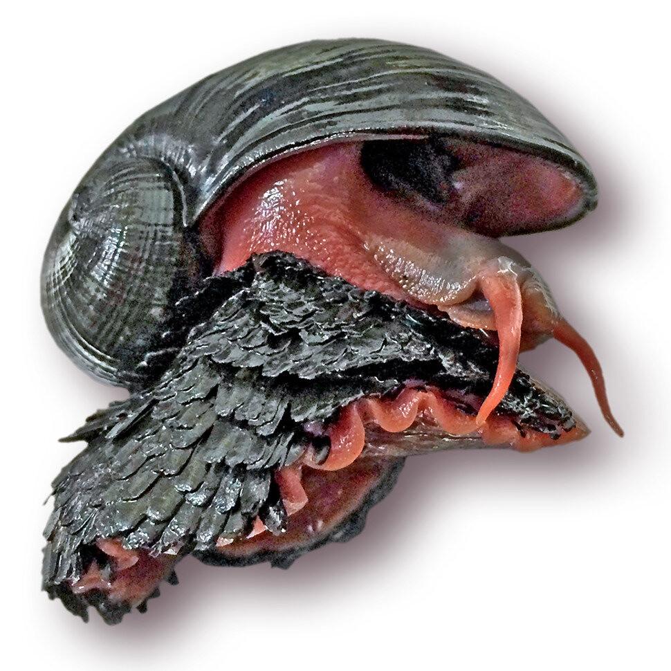 世界自然保護聯盟(IUCN)的受脅物種紅皮書,將足上有鱗片的奇異貝類列為瀕危物種。照片來源:HKUST